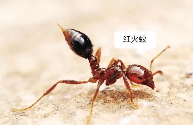 深圳红火蚁防治公司治理红火蚁的三种方法 红火蚁防治