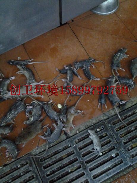 深圳灭鼠公司对于老鼠的灭治