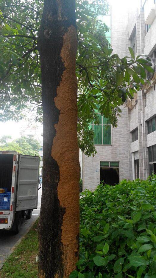 深圳白蚁防治公司消杀白蚁的方法