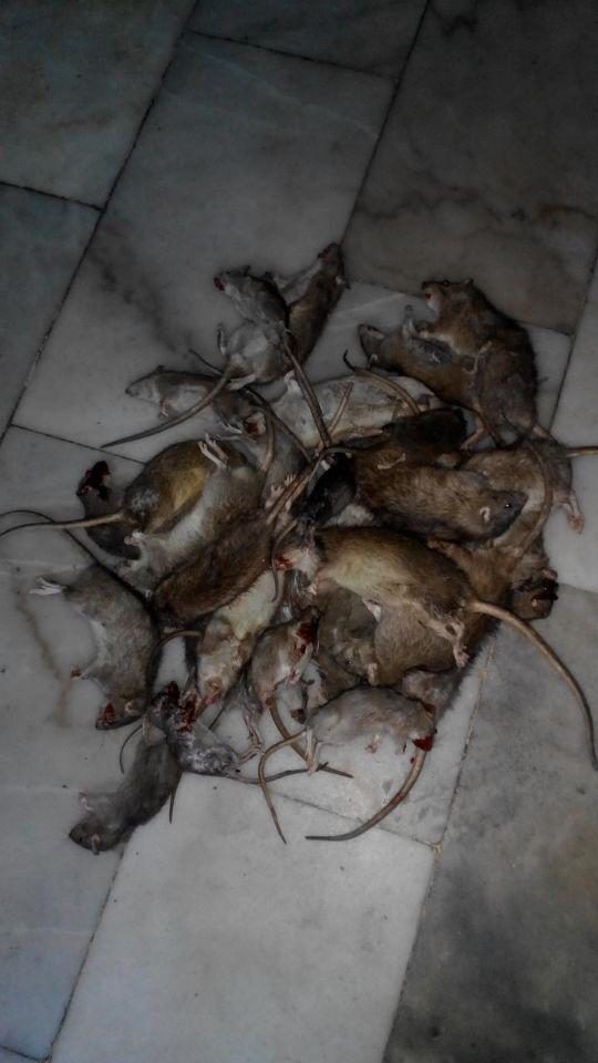 深圳灭鼠公司哪家比较专业