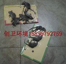 深圳灭鼠公司是怎么样消灭老鼠的
