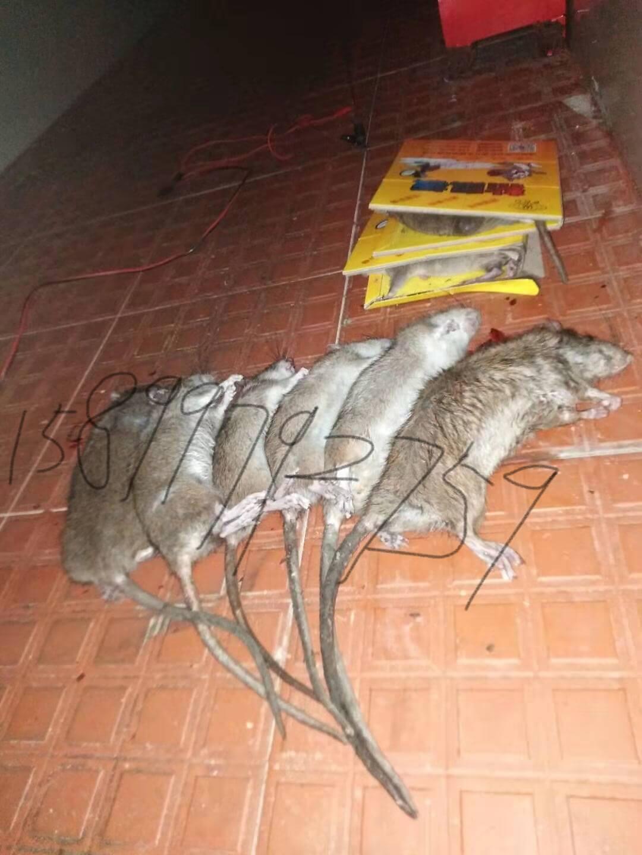深圳杀虫公司认识灭鼠安全的必要性